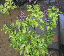 these lilac s are not dull without flowers, flowers, gardening