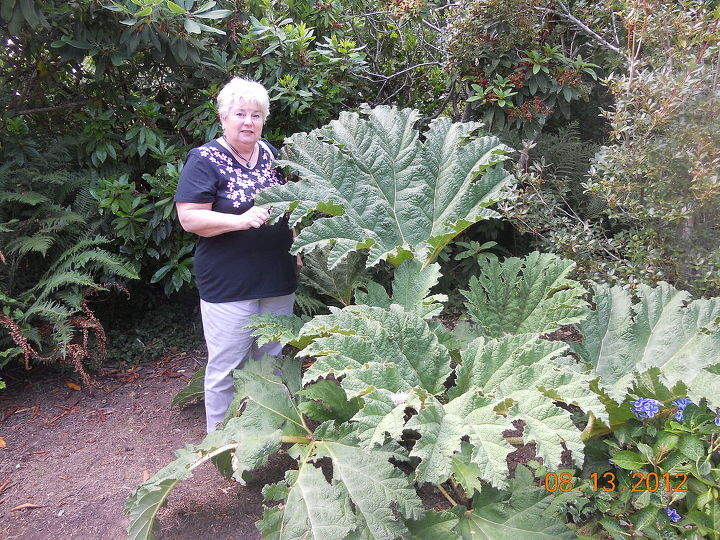 what in the world is this plant it is humongous oregon coast lincoln city, gardening