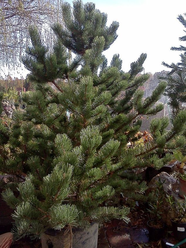 Oregon Green Pine tree.Beautiful structure.