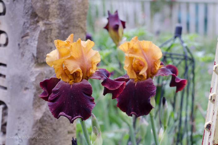 my iris today and a update on my separating iris post, gardening
