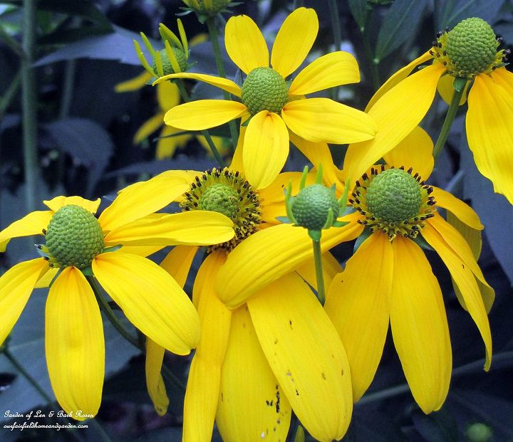 Rudbeckia Maxima ~ goldfinches love the seed heads! http://ourfairfieldhomeandgarden.com/seasonal-blooms/fall/