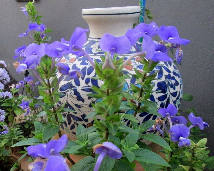 this is one blue than can pull you out of your blues, gardening