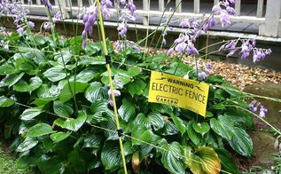 deer control options, gardening, pets animals, electric fence protecting hosta