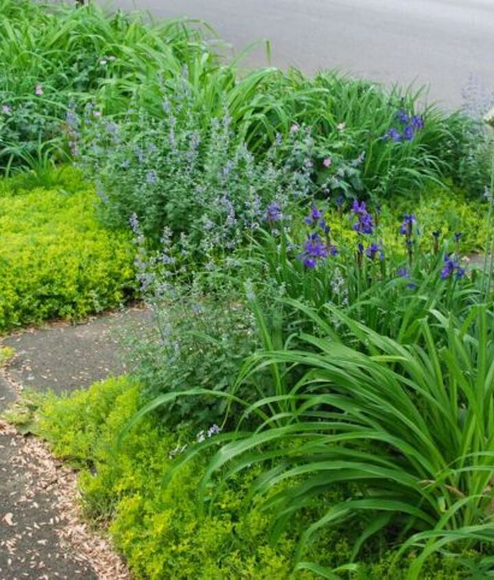 The front curb strip, or Front Woodland, has many more perennials to care it through the seasons. I recently added some catmint divisions here as well. Lamb's ears (Stachys byzantine), daylilies (Hemerocallis fulva), Geraniums, Iris si