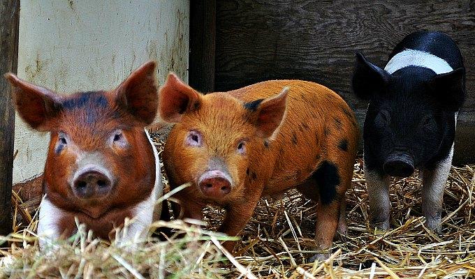 swine time, green living, homesteading