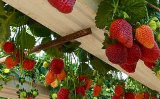 strawberry gutter garden, curb appeal, gardening