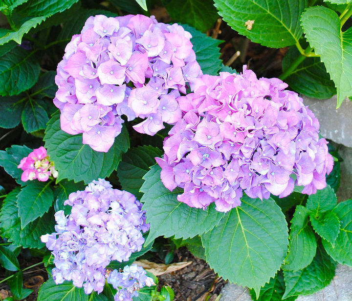 My Pink Hydrangeas. Sometimes they get a little purpley too!