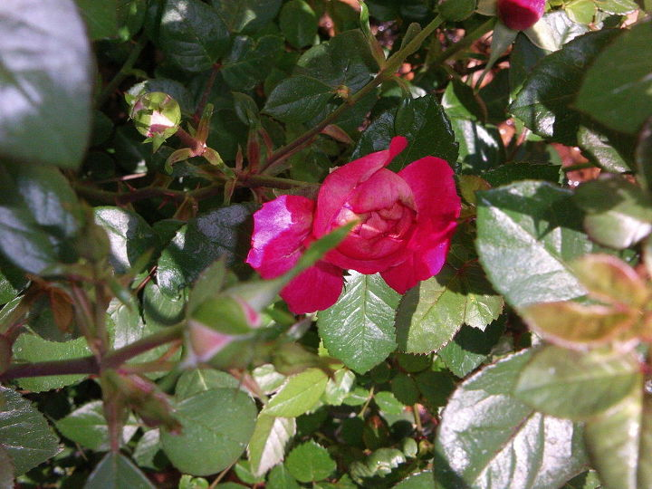 Mini Roses are just starting to bloom.