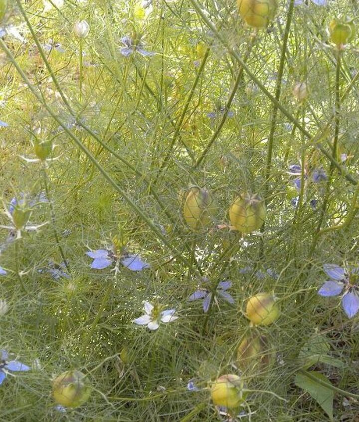 Love-in-a-mist (April)
