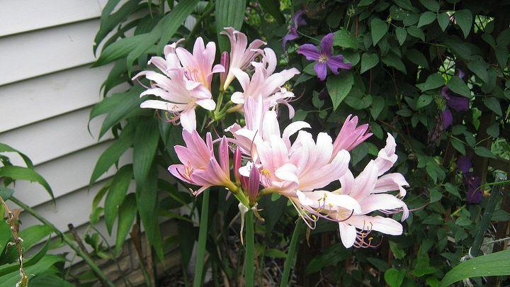 Amaryllis belladonna, Belladonna Lily, Naked Lady
