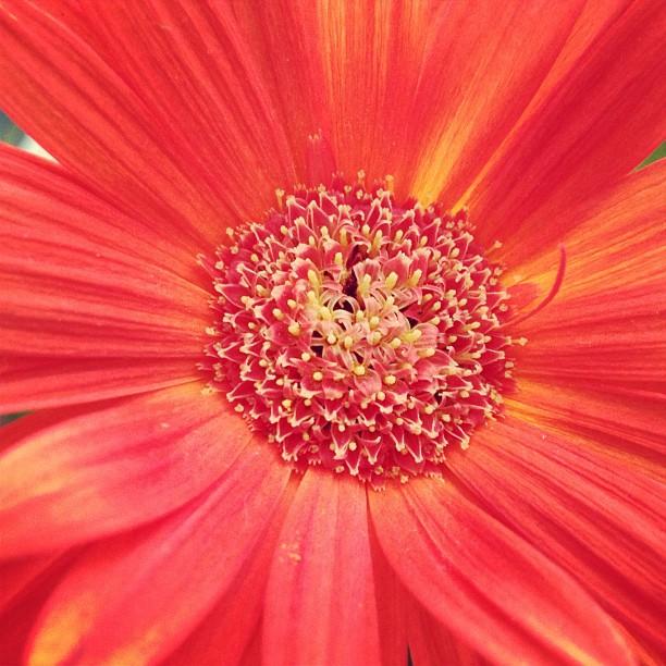 gardening gerbera daisies, flowers, gardening, Gerbera Daisies on my desk