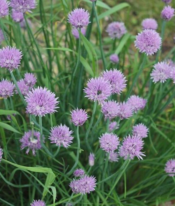 blooming herbs, flowers, gardening