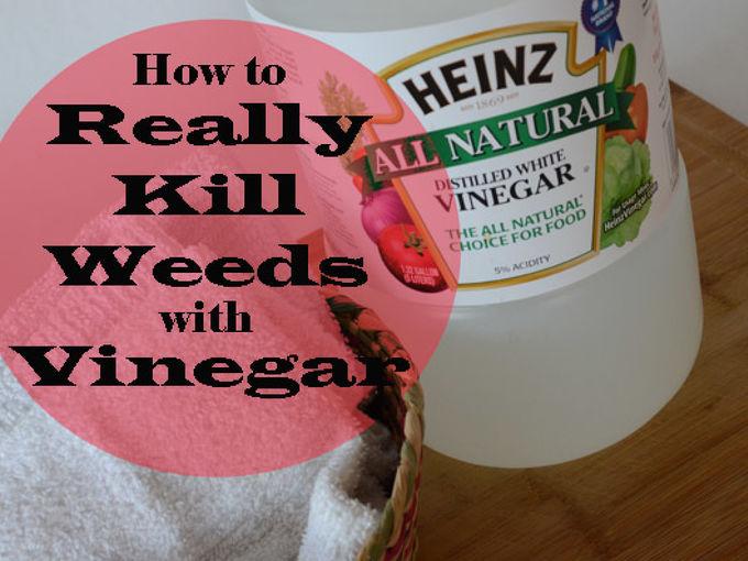 really killing weeds with vinegar, flowers, gardening, Household vinegar will NOT kill weeds Read how to REALLY kill weeds with vinegar