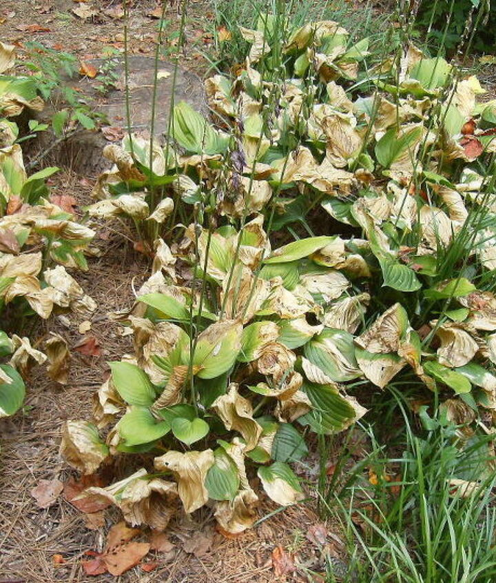 here are old established hostas that have always done very well even with my, gardening