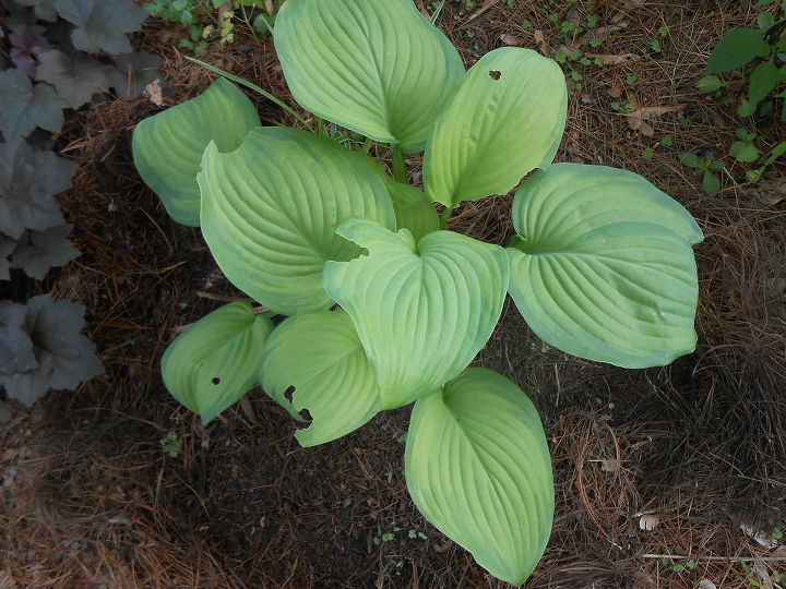 "Hosta ""Guacamole"" with damage"