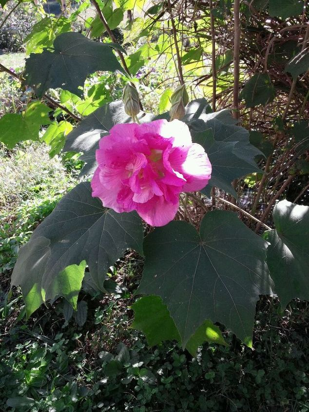 """This is a """"confederate Rose"""" Hibiscus I got from a friend of mine a few years ago."""