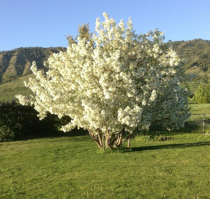 This is the blooming tree 2013