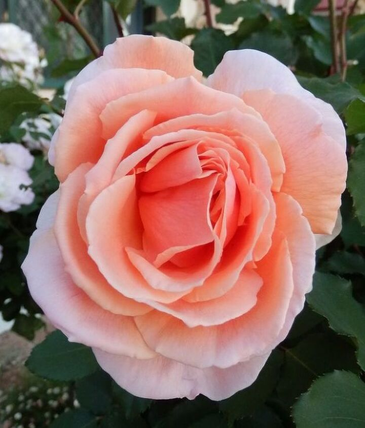 spring down under amp my roses are blooming, gardening