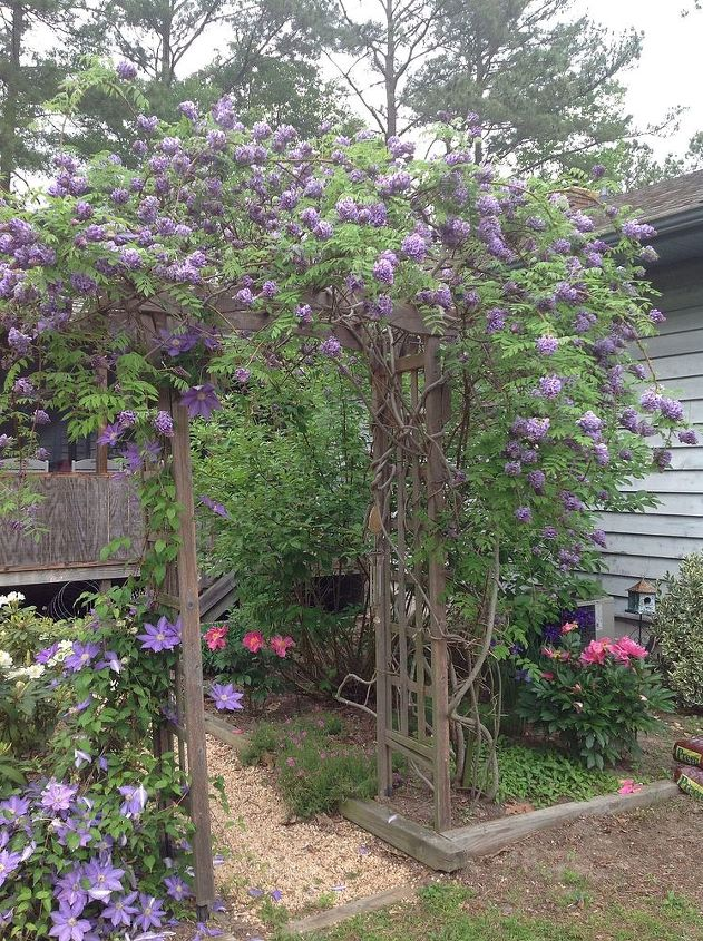 my wisteria arbor it is about 4 yrs old my husband built the arbor, gardening, outdoor living