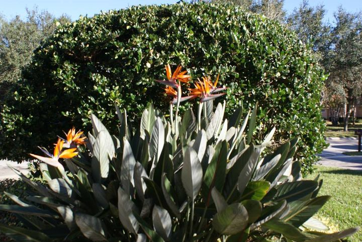 We are working on phase 3 on this home and the bird of paradice has had as many as 24 blooms on it at one time.