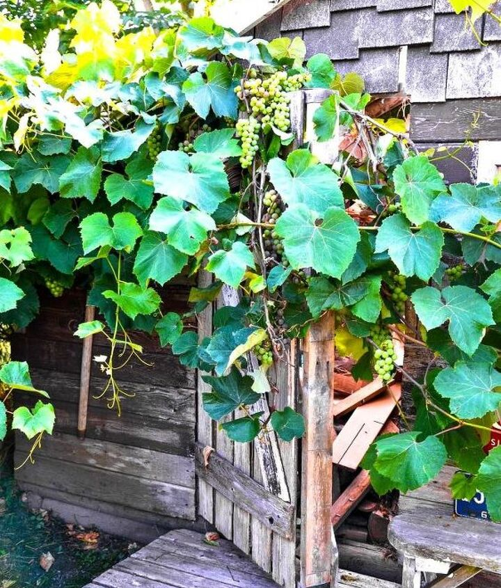 I allowed the grapevines to just do their thing, growing over top of the door. It's super pretty!
