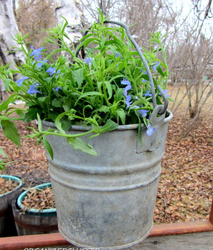 A small galvanized bucket with a trailing lobelia planted inside.