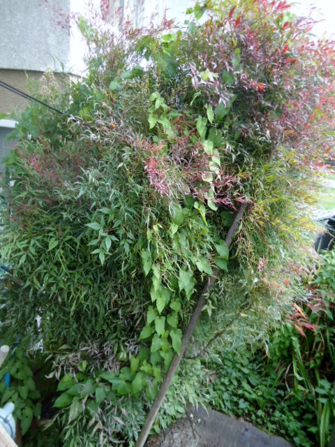 q does anyone know what kind of bush tree this is, flowers, gardening, Morning glory tangled in shrub ignore