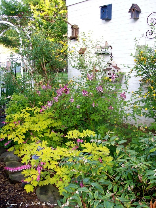 April side garden with kerria, lilac, dicentra and columbine
