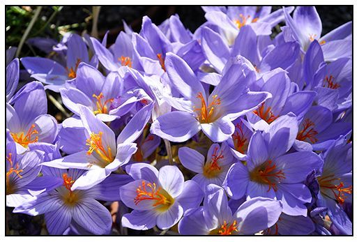Autumn crocus will naturalize into thick stands when happy (photo by Matt Mattus via Growing with Plants).