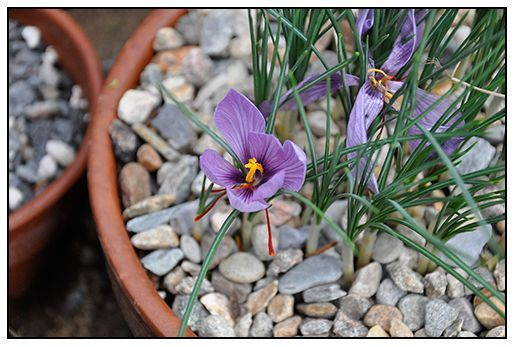This is the saffron crocus. The distended stigmas you see here are what is harvested for the world's most expensive spice (photo by Matt Mattus via Growing with Plants).