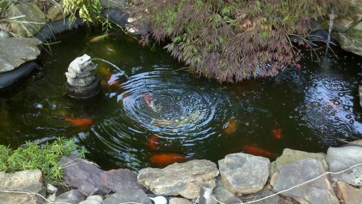 a pond my husband built in our yard fish have been in there for over 5yrs now, pets animals, ponds water features