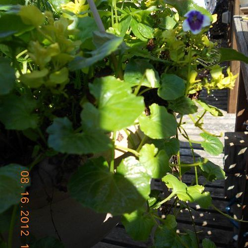 do u know what name of that trailing ivy with small purple with white edge flowers, flowers, gardening