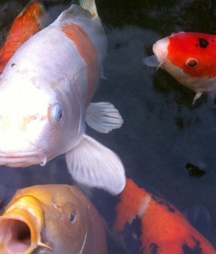 Koi smooch anyone?