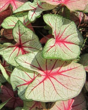 q i have two pots of caladiums outside my front door i read they won t survive the, gardening