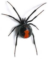 Balck Widow Spider