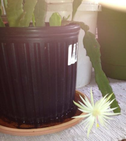 a friend posted a photo of her plant that she called a dragon tail on facebook i, gardening