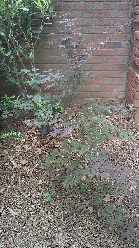 q japanese maple saplings up for grabs in atlanta, gardening