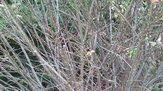 q my burning bushes aren t full at all the branches sill feel green and there are, gardening, The bush just absolutely looks dead