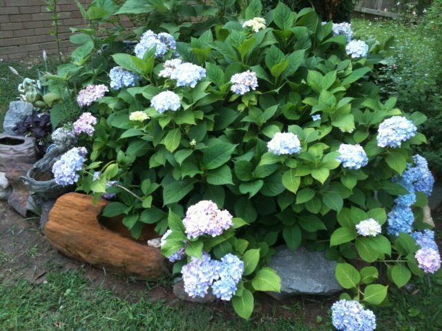 my flower garden this year, flowers, gardening, Hydrangeas in May 2012
