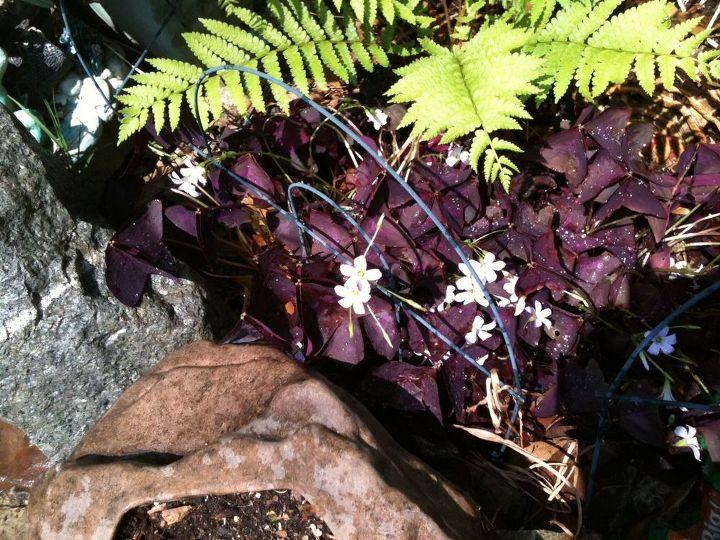 Purple Shamrock in Bloom
