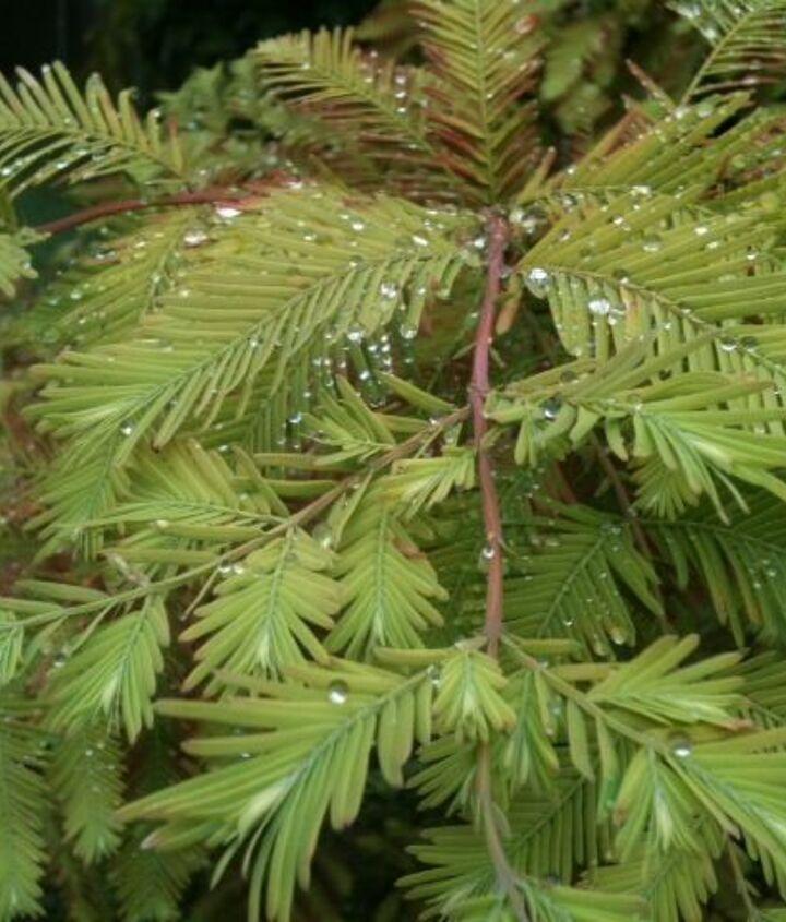 Foliage on my Dawn Redwood! I Love that tree!
