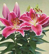lilium after eight flowers, flowers, gardening, Lilium After Eight
