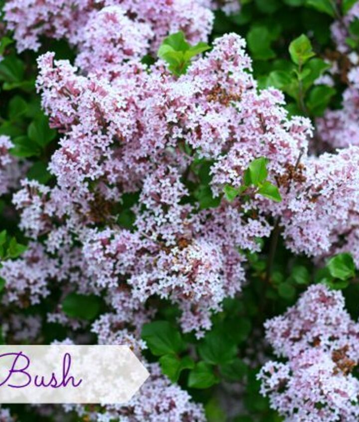 Lilac bush started from a little stick
