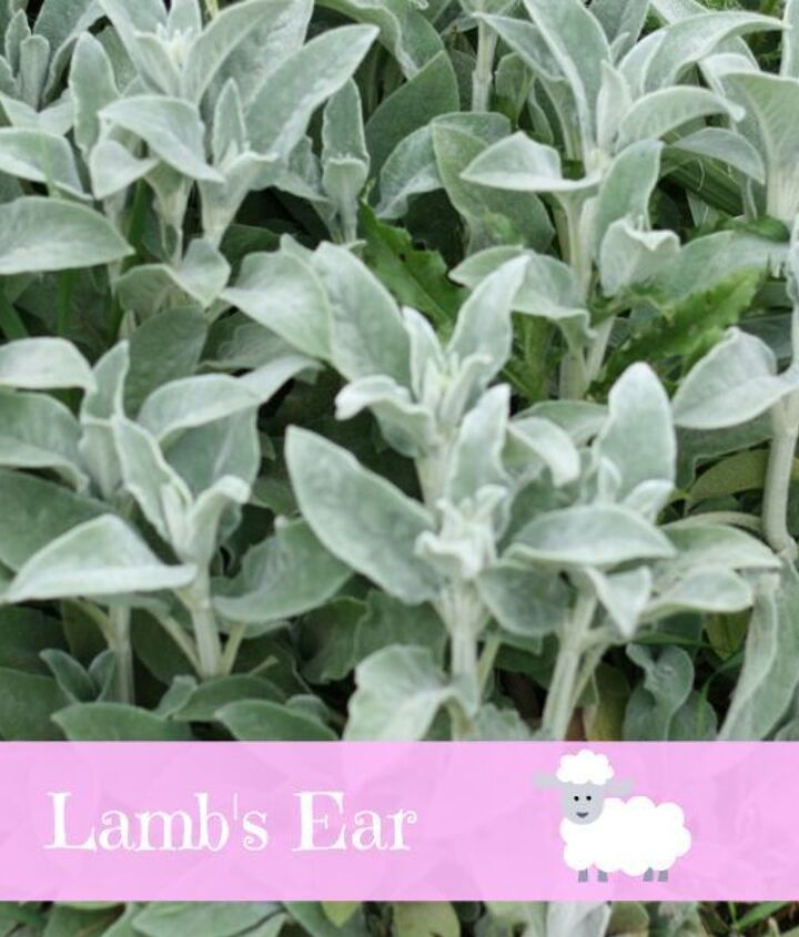 Lamb's ears are everywhere!