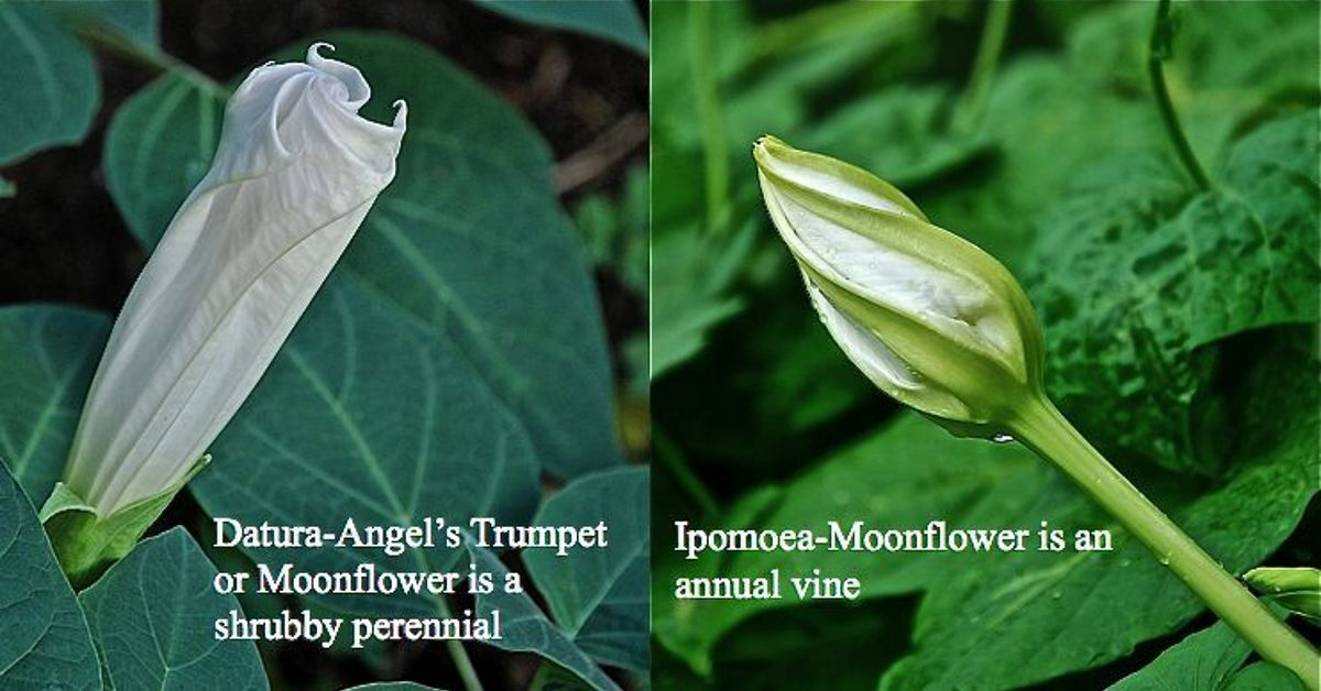 Different types of moonflowers hometalk mightylinksfo