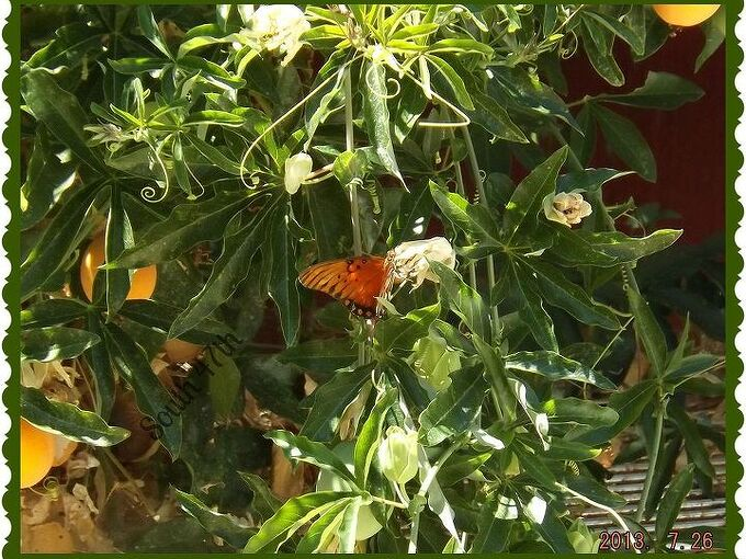 passion flower fruit and a butterfly, flowers, gardening