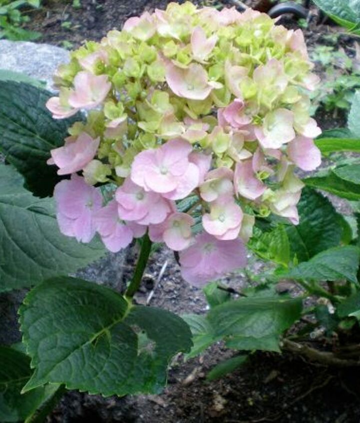 Cut your Hydrangeas in the early morning and immediately immerse them in water.