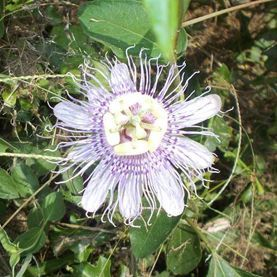 what is this flower i used to see them a lot when i was a child but, flowers, gardening