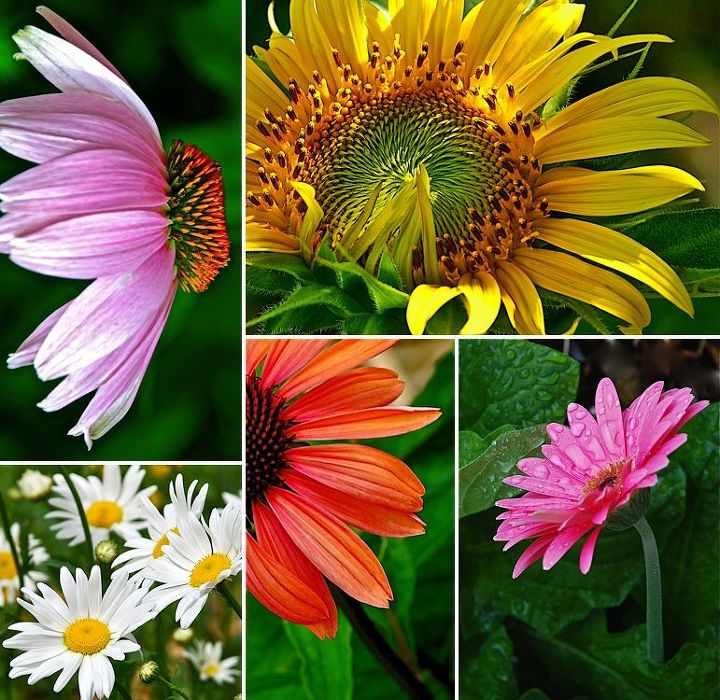 the daisy family, flowers, gardening