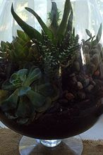 diy succulent terrarium, crafts, flowers, gardening, succulents, terrarium, Love it I m a little concerned about that yellow spot on them sempervi though maybe the plant is just stressed I did have a hard time finding specimens that looked really healthy but I took a chance because succulents are such hardy
